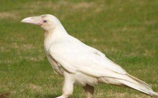 Фразеологизм белая ворона: значение, история и происхождение выражения, особенности понятия