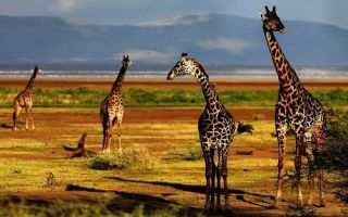 Николай гумилёв «жираф», его анализ и художественные образы и приёмы