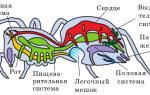 Паук — это насекомое или нет: строение паукообразных и названия, виды в россии