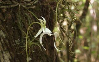 Растения северной америки: исчезающие и редкие виды, орхидея призрак и другие цветы