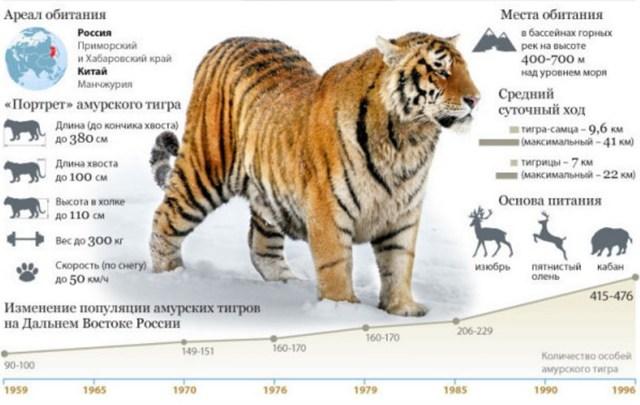 Амурский тигр: краткое описание для школьников, интересные факты о животном