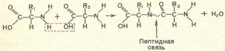 Органические вещества входящие в состав клетки — какие основные соединения