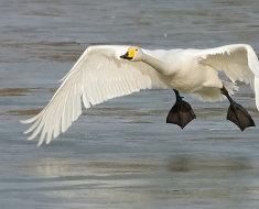 Все о лебедях: происхождение, описание характера, внешности, жизнедеятельности