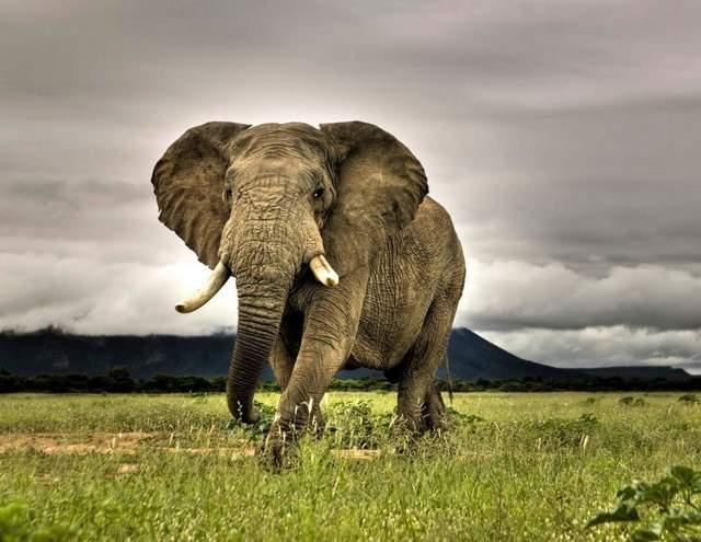 Все про слонов: вес африканского животного, сколько живут, чем питаются, скелет слона