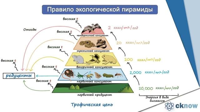 Пищевая цепь: примеры продуцентов и консументов первого порядка, трофические связи