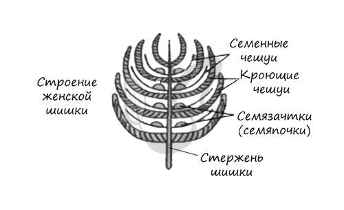 Голосеменные растения: примеры самых распространенных, их жизненный цикл