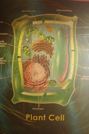Что такое клеточный центр, где находится и его значение для деления клеток