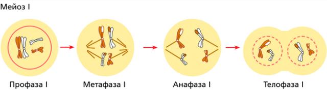 Значение митоза биологическое: особенности каждой фазы деления клеток, отличия процесса от мейоза
