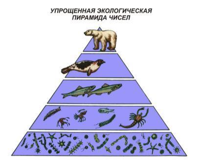 Экологическая пирамида: правило построения и ее виды, трофическая пирамида и цепи питания