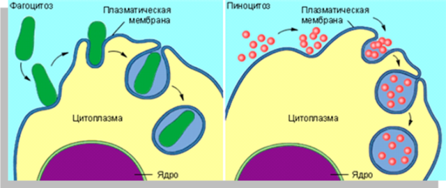 Все о цитоплазме клетки: химический состав, физическая структура и строение, основные функции