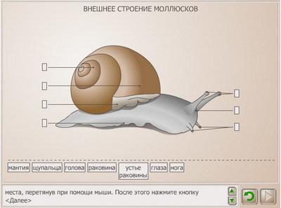 Двустворчатые моллюски: общая характеристика, признаки, строение и значение