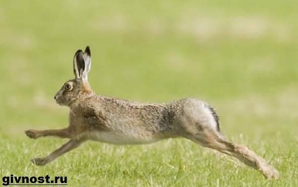 Заяц-беляк. Фото зайца-беляка.