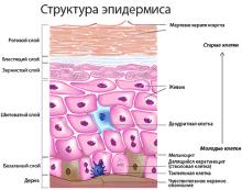 Строение кожи человека, функции и интересные факты об этом органе