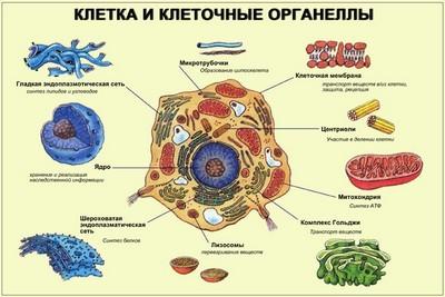 Строение растительной клетки и ее функции: пластиды, цитоплазма, органеллы; отличия растительной и животной клетки