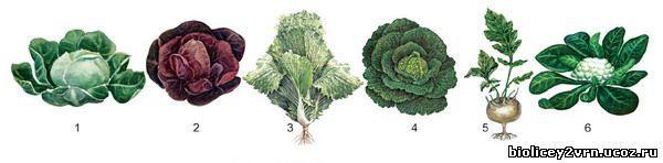 Семейство крестоцветных растений: признаки, разновидности, жизненный цикл
