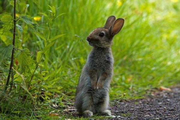 Описание зайца: виды, как выглядит и где живет заяц-русак, чем питается в лесу и интересные факты