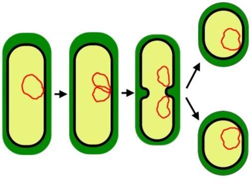 Виды бесполого размножения организмов, типы деления клеток: бинарное, надвое, конъюгация