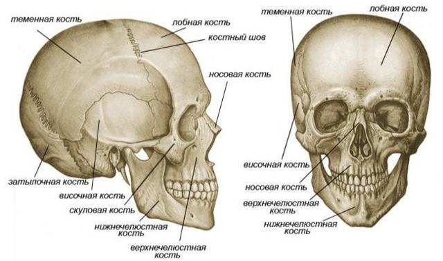 Опорно-двигательная система человека: скелет и мышцы, строение и состав костей, анатомия