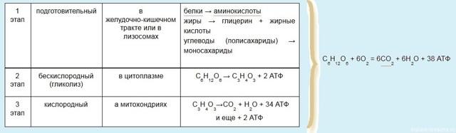 Обмен веществ и энергии в клетке: синтез АТФ, метаболические процессы и этапы