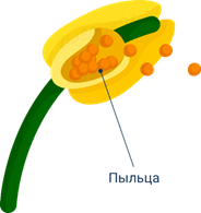 Строение семени растений: какие бывают и как развиваются у покрытосеменных, голосеменных
