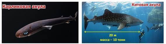 К какому классу относятся рыбы: признаки хрящевых и костных, названия видов