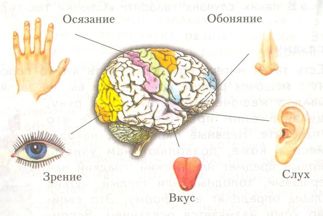 Органы чувств: характеристика и значение, количество и группы