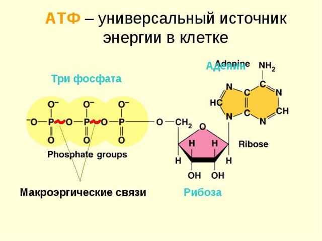 Что такое молекула АТФ, какие соединения входят в её состав; строение, функции и роль в живых клетках