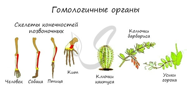 Рудименты и гомологических органы, примеры атавизмов как доказательств эволюции