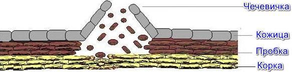 Механическая ткань растений: виды тканей - фотосинтезирующая, покровная