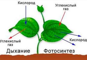 Фотосинтез - основные фазы, процесс и реакция, образующиеся продукты при фотосинтезе