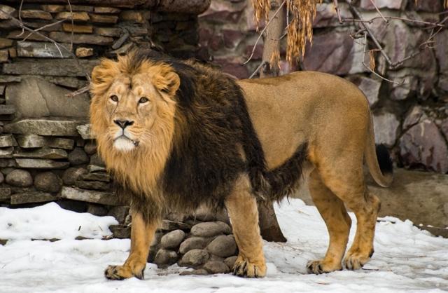 Описание льва в характеристике диких животных Африки: азиатский, черный лев