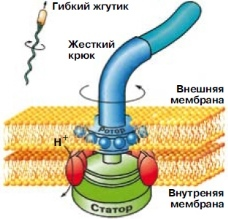 Главными частями биологии клеток являются эукариотическая (животного и человека) и прокариотическая клетки
