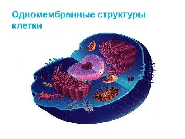 Немембранные органоиды клетки: почему так называются, что к ним относится, строение и функции
