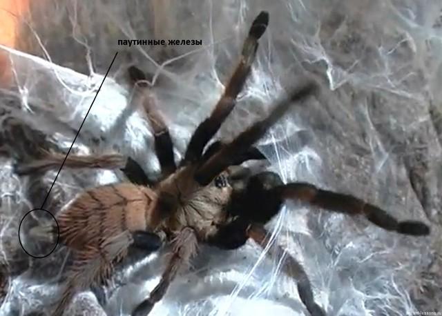 Паук - это насекомое или нет: строение паукообразных и названия, виды в России
