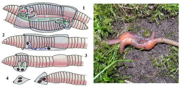 Круглые и кольчатые черви: общая характеристика типов, представители, их значение
