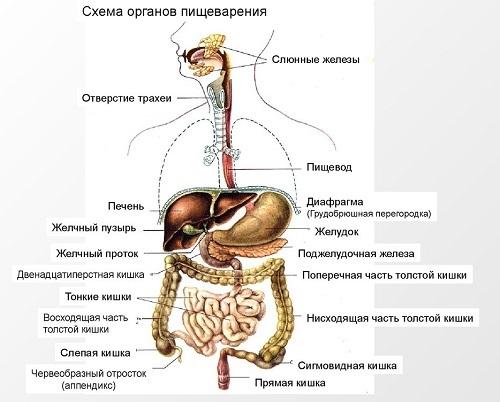Пищеварительная система человека: строение и функции органов ЖКТ, схема расположения