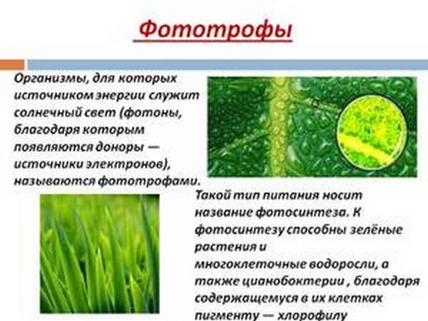 Понятие фототрофа в биологии, примеры микроорганизмов, тип питания бактерий