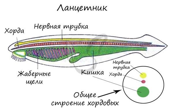 Человек - тип Хордовые: характерные признаки, место в системе органического мира
