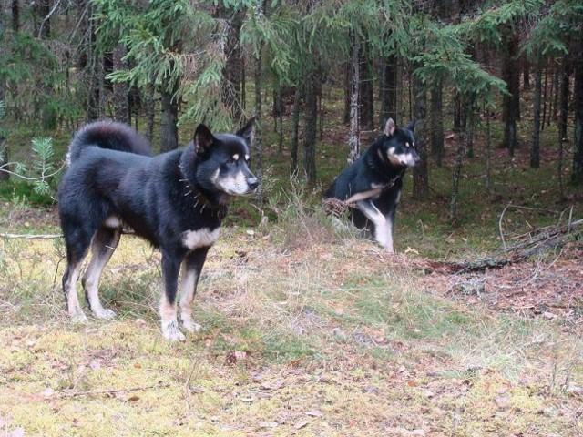 Сообщение о собаке: охотничьи и мелкие породы, внешнее и внутреннее строение