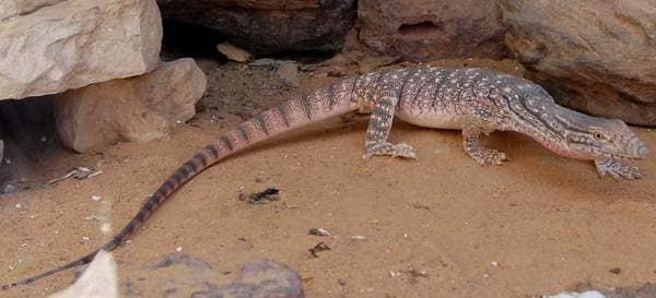 Какие животные живут в пустыне россии: мелкие и крупные виды, описание и особенности