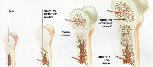 Описание скелета человека с названием костей, функции скелета, основной и добавочный скелет