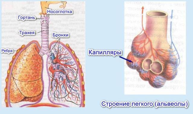 Кровеносная система млекопитающих: ее строение и классификация, список животных