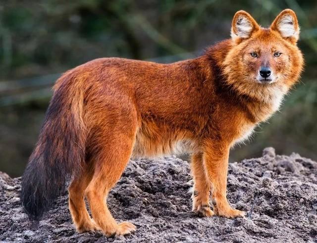 Животные красной книги России, список исчезающих животных, виды исчезающих животных