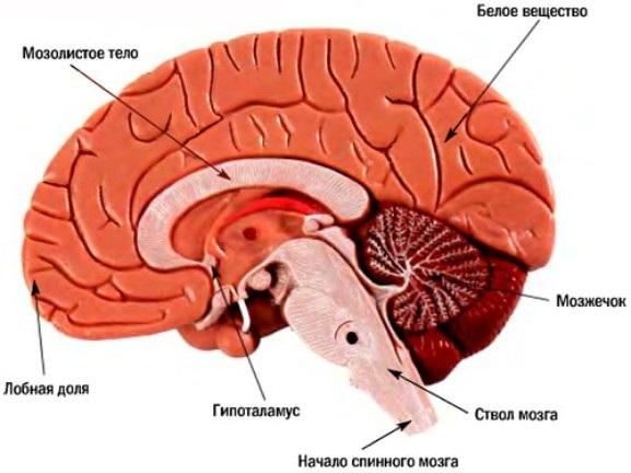 За что отвечает передняя часть мозга