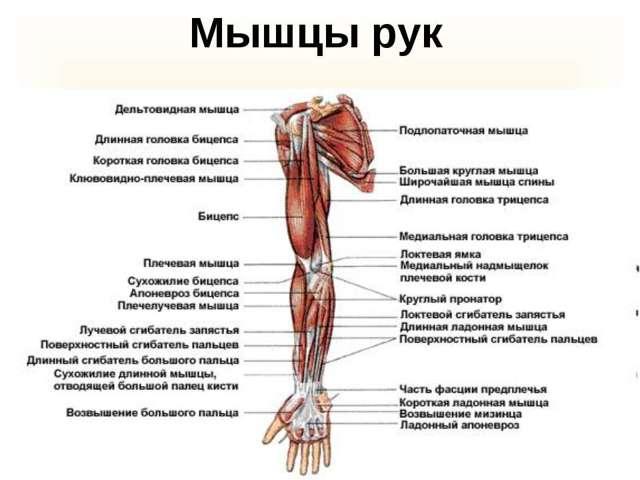 Сколько мышц в теле взрослого человека, анатомия и научные факты о мускулатуре организма