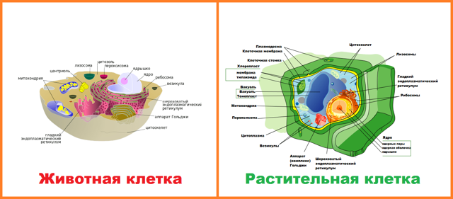 Растительная и животная клетка, таблица сравнения в строении и жизнедеятельности, вывод