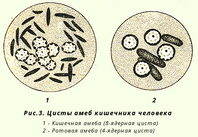Амёба как простейший организм: её строение, способ размножения, животное это или бактерия