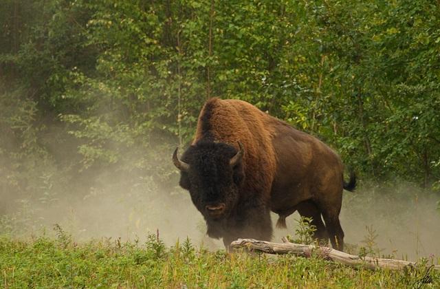 Северная Америка: животные и растительный мир США и Канады - бизоны и североамериканский медведь