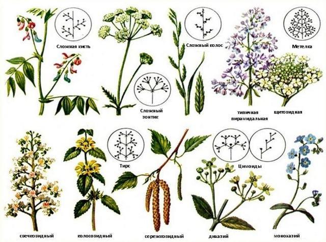 Виды соцветий покрытосеменных растений: особенности простых и сложных видов