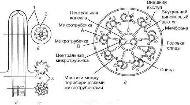 Какое количество хромосом содержится в кариотипе у картошки